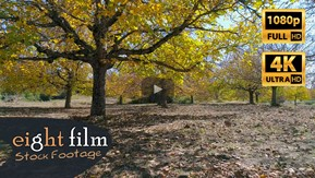 Aerial Footage. Flying under the walnut trees
